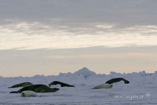 流氷の上のアザラシ